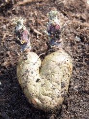 seed potato of love!