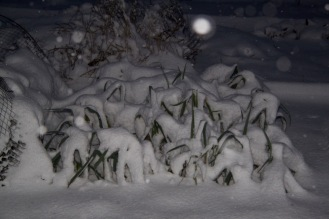 The leeks and brassicas recovered fully from the snow covering