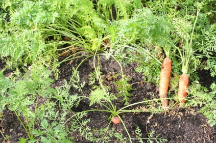 Carrots, August 2009.