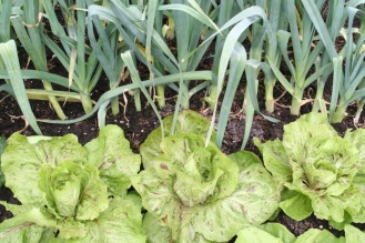 leeks and chicories, autumn 09