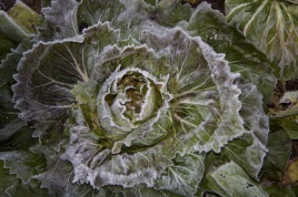 frosted chicory