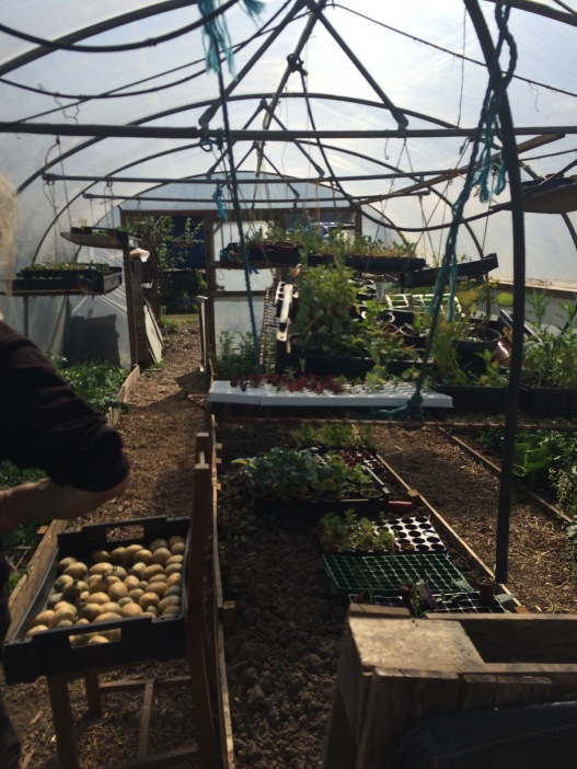 inside the polytunnel, the propagating area