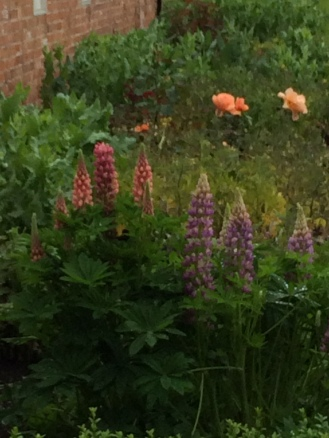 Lupins and roses