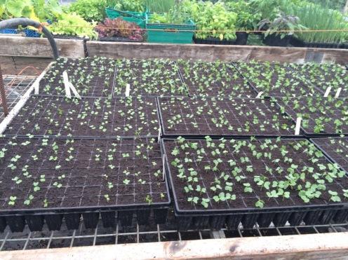 Emerging seedlings in module trays