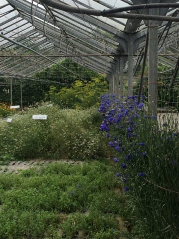 Herbs and cornflowers