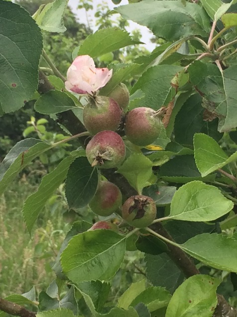 The gardens have many different varieties of apple tree