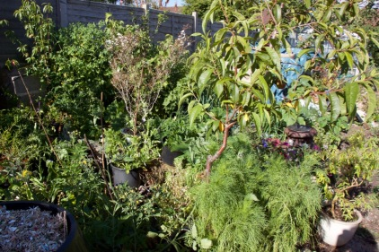 view across the forest garden from the soft fruit bed, 'dalek' compost heap in the corner