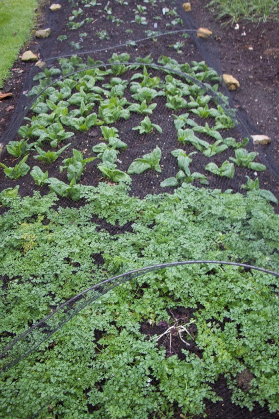 chervil and spinach still cropping well despite being frosted