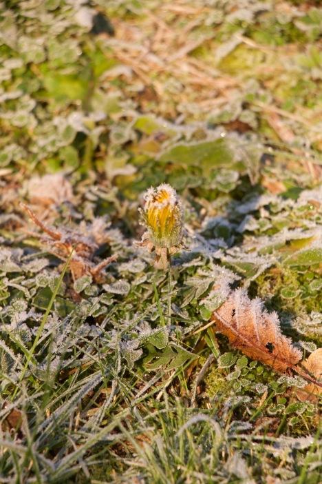 Frozen dandelion, a strange sight for January