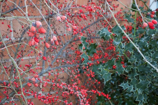 Cotoneaster and rosehips
