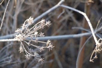 Fennel seed head