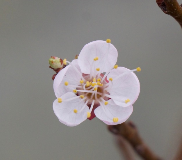 Flower on my new dwarf apricot