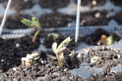emerging dwarf french beans