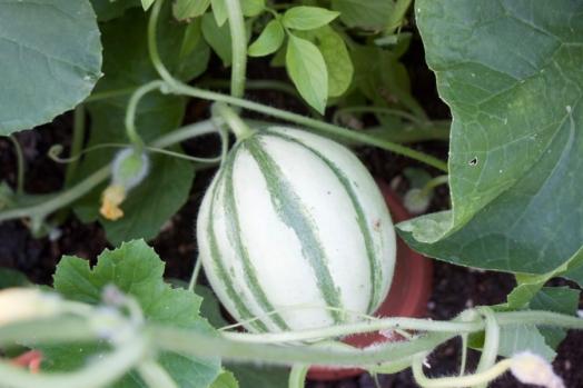 Malaga F1 melon