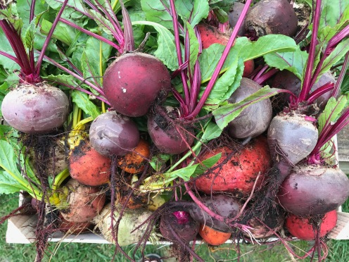red, white, yellow and pink striped beetroot