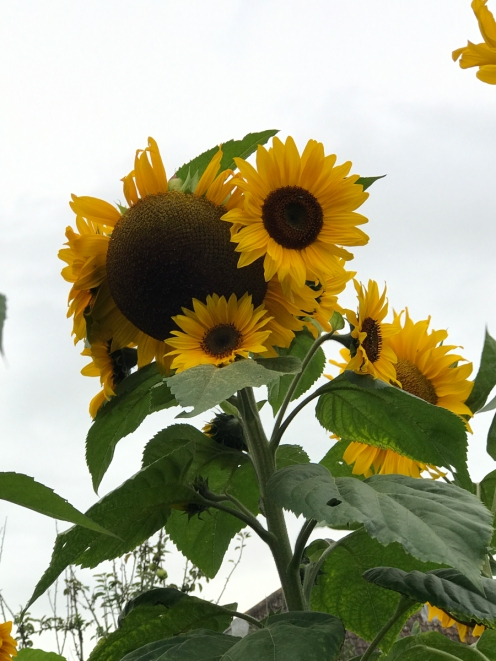 These sunflowers are about 10 feet tall