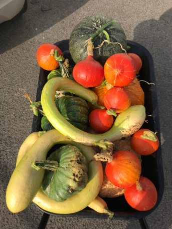 Allotment squash harvest