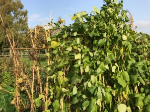 The czar beans are still very green and so will benefit from a little longer on the plant