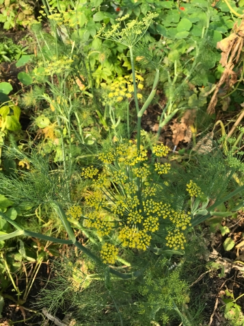 Fennel flowering, food for beneficial insects