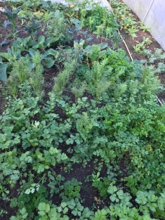 herbs including dill, chervil, coriander and parsley