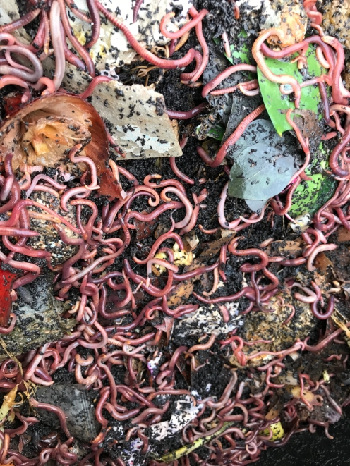 a lot of compost worms