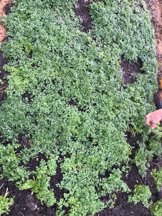 outdoor grown chervil