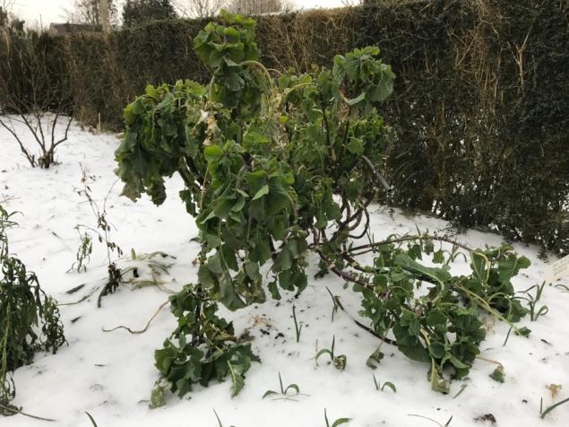 perennial kale looking frozen