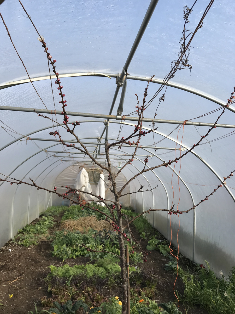 My polytunnel in early March