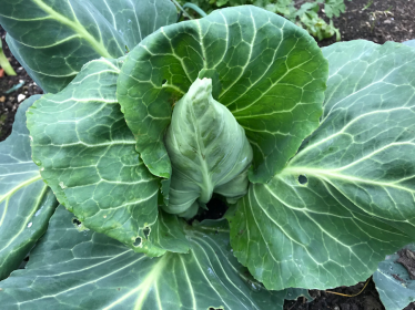hearting up cabbage