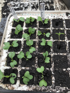 brassicas pricked out and 'buried'