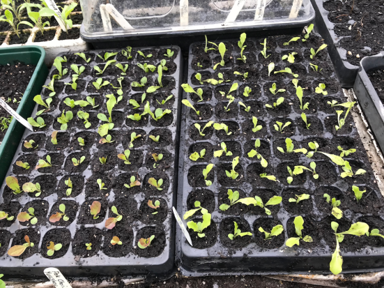 pricked out lettuce seedlings