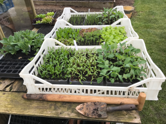 seedlings for the dig/no dig beds