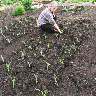 Planting sweetcorn at my allotment