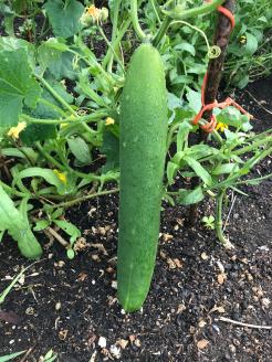 Polytunnel cucumber