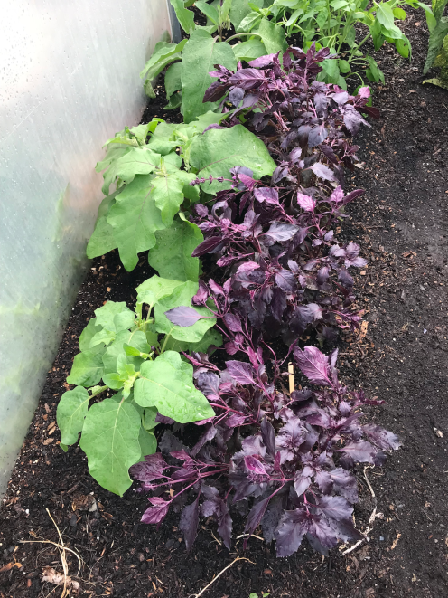 Aubergines and red basil
