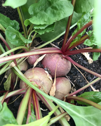 Module sown and grown beetroot, July 20th, allotment